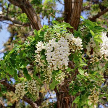 Багрем (Robinia pseudoacacia)