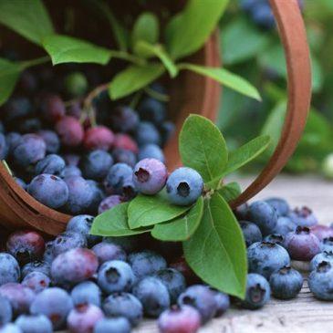 Боровинка (Vaccinium myrtillus)