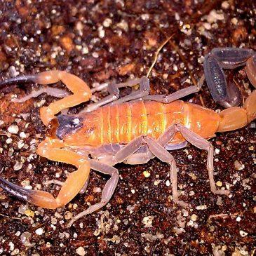 Отров од плава шкорпија – податоци