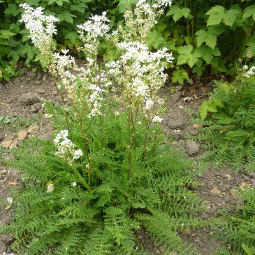 Филипендула (Filipendula vulgaris)